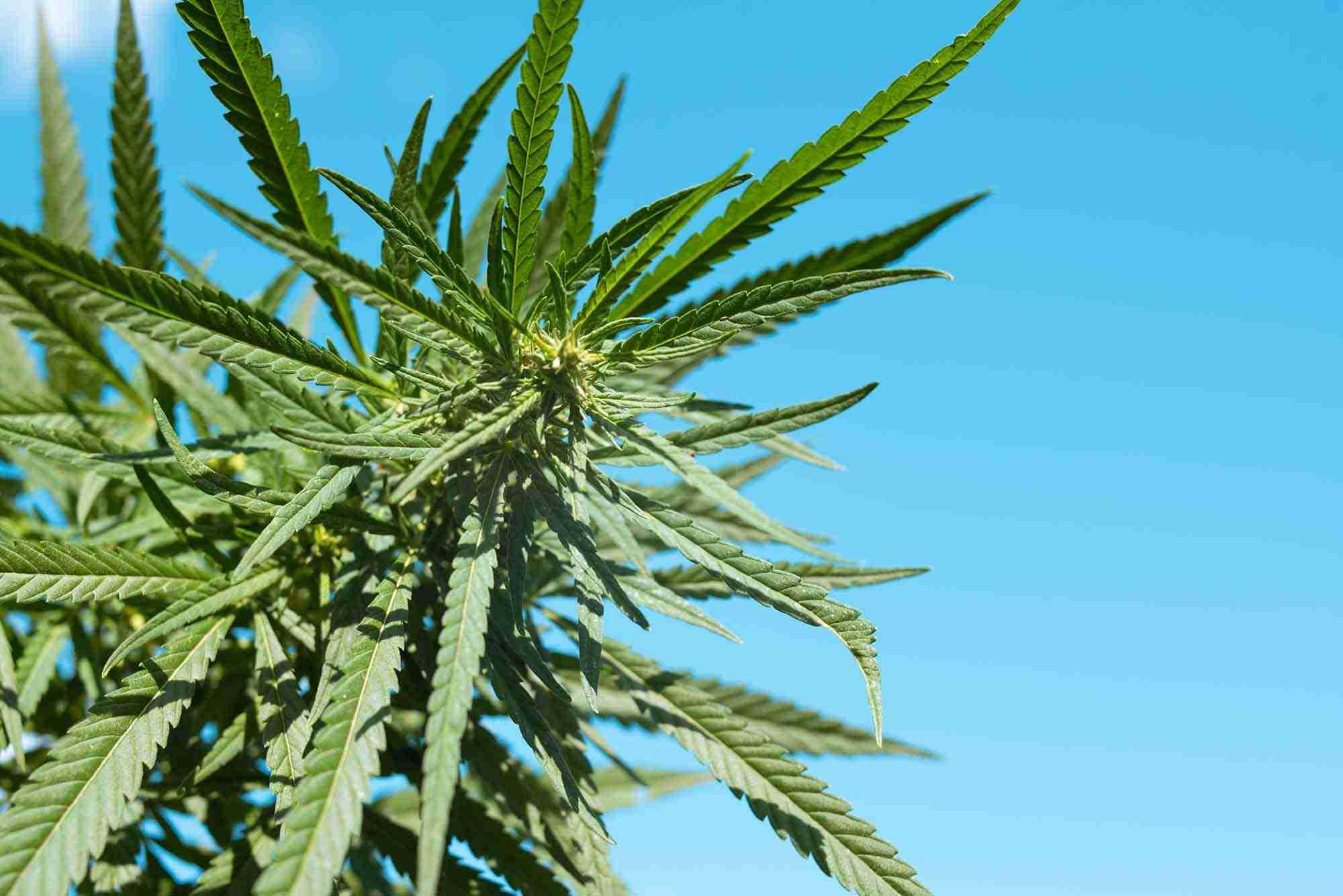 Cannabis sativa e indica