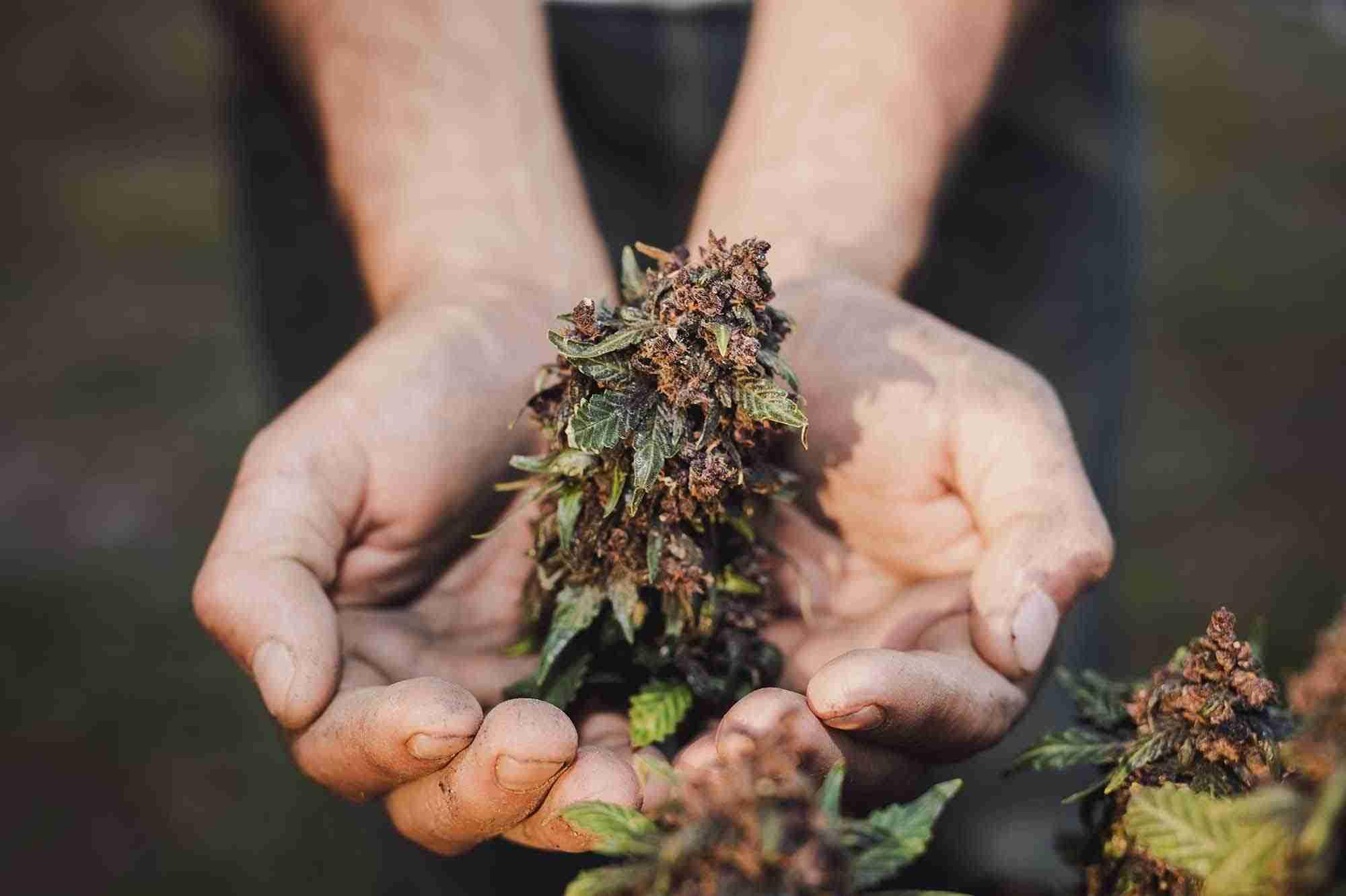 Raccolta cannabis